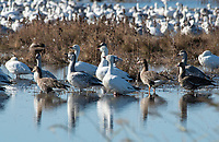 Greater White-fronted Geese, Anser albifrons, and Snow Geese, Chen caerulescens, at Sacramento National Wildlife Refuge, California