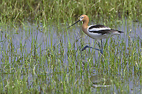American Avocet walking through a watery field