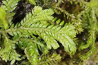 krauss's clubmoss - Selaginella kraussiana