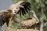 "Pictured: A daring vulture swooping in attempts to land a high kung-fu kick on another vulture as they battle for food on the side of the road near Narkana, India. <br /> <br /> The spectacular scene that could almost have been from a movie was caught by Samyak Kanide, a wildlife photographer from Prune City, India.<br /> <br /> The pair of vultures, of which are part of an endangered species we caught fighting over a cow carcass. <br /> <br /> Mr Kanide said ""A dead cow by the roadside attracted a group of Himalayan Griffon Vultures that were feeding on the carcass. But, soon the fight broke between the group of vultures who were dominating over each other over the feeding rights of delicious parts of the carcass."" <br /> <br /> ""The fight was spontaneous and lasted anywhere between a minute or two over the feeding rights of the carcass.""<br /> <br /> Please byline:Samyak Kaninde/Solent News<br /> <br /> © Samyak Kaninde/Solent News & Photo Agency<br /> UK +44 (0) 2380 458800"