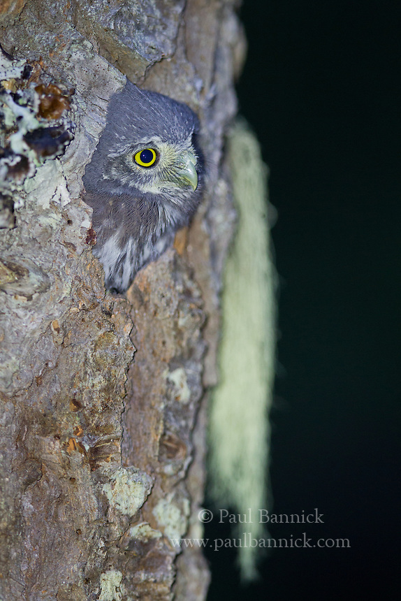 A Northern Pygmy-Owl nestling appears at the cavity entrance, one day before fledging.