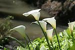 Lillies at Hayward Regional Shoreline