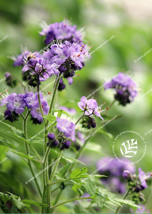 Free nature stock image - Purple Phacelia flowers plant blossoming in Spring in the Chestnut top trail at the Great smoky mountains national park, USA.