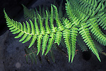 Wood Fern (Dryopteris), Sierra Nevada Range, California, USA