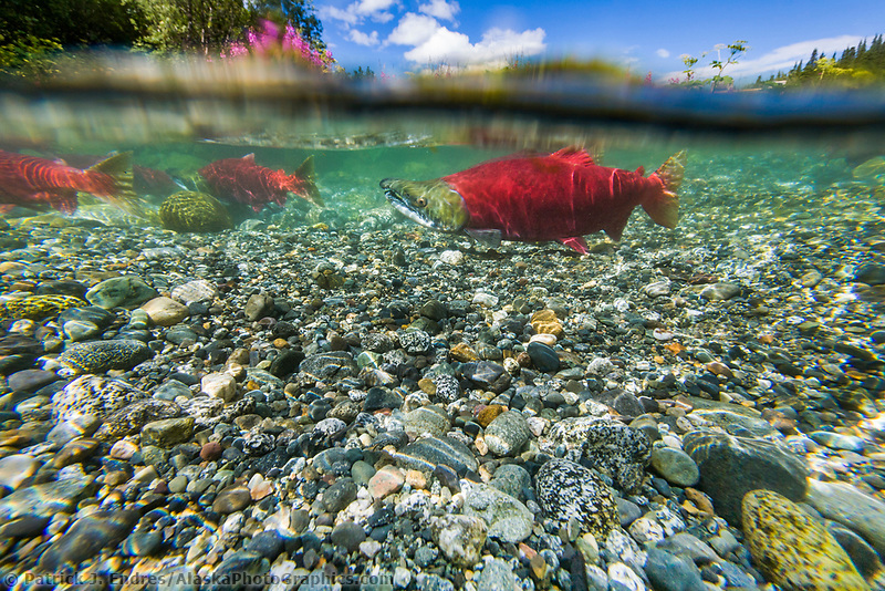 "Red salmon or ""sockeye"" in spawning phase (red body and green head) in a small stream, Interior, Alaska."