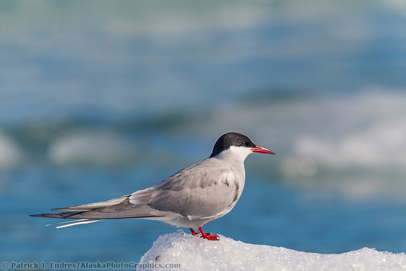 Arctic tern perched on a iceberg in the cool waters of Nellie Juan Lagoon, Prince William Sound, southcentral, Alaska