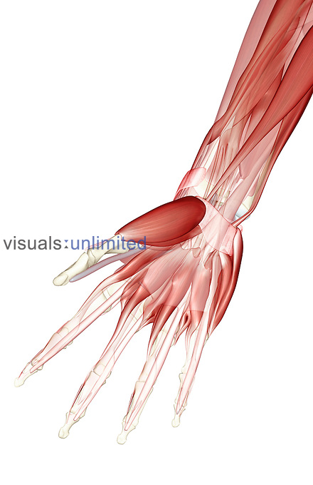 An anterior view of the muscles of the forearm and hand relative to the skeleton.  In the forearm  the flexor carpi radialis and ulnaris are highlighted.  In the hand the abductor and flexor pollicis brevis , abductor and flexor digiti minimi and lumbrical muscles are visble. Royalty Free