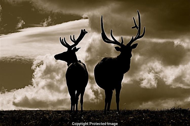 Elk in Rocky Mountain National Park, Colorado
