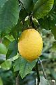 Citron (Citrus medica), glasshouse, early February.