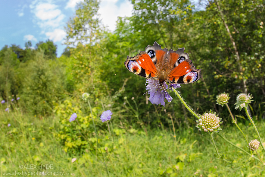 Peacock butterfly {Inachis io} feeding on Field Scabious {Knautia arvensis} in a disused limestone quarry that has been recolonised by a variety of grassland and tree species. Peak District National Park, Derbyshire, UK. August.