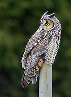 Long-eared owls are an elusive species that can sometimes be found near Boundary Bay in winter.