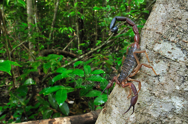 Scorpion (Grosphus ankarana), Ankarana National Park, Northern Madagascar