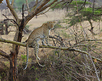 Leopard (Panthera pardus) balancing on an acacia branch, Serengeti