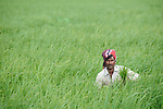 Ramjan Ali weeds a rice field in Kunderpara, a village on an island in the Brahmaputra River in northern Bangladesh.