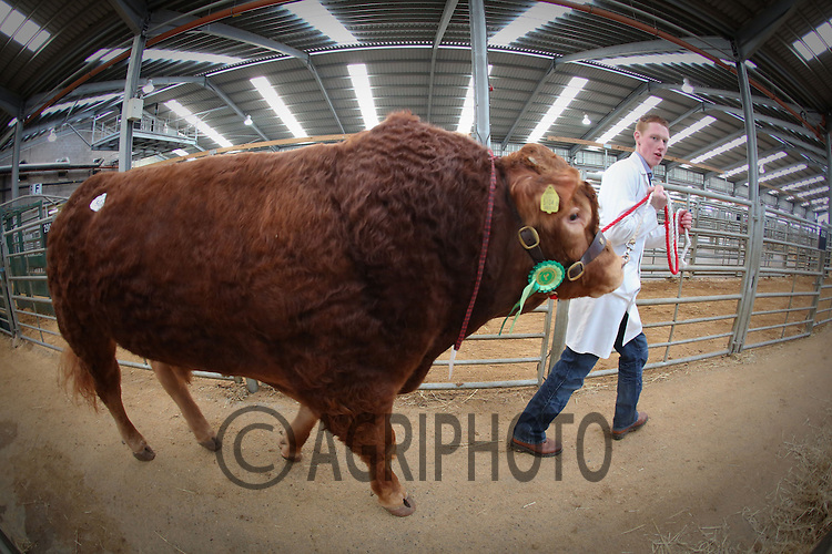 Stirling Bull Sales 2013.Picture Tim Scrivener date taken 6th February 2013.mobile 07850 303986 e-mail tim@agriphoto.com.....covering agriculture in the Uk....