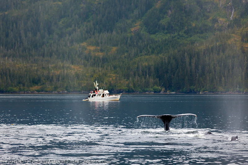 Humpback Whale sounds as nearby boat watches, Prince William Sound, southcentral, Alaska.