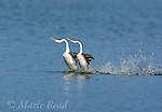 "Clark's Grebes (Aechmophorus clarkii), performing ""rushing"" display, California, USA"
