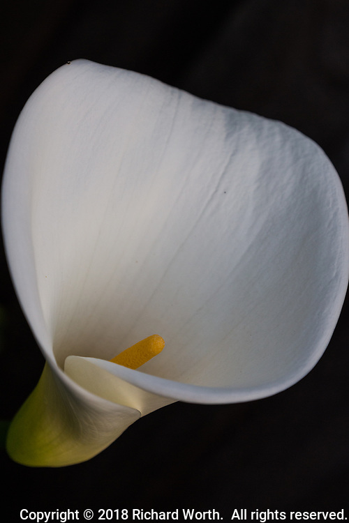 The distinctive white Calla lily with bright yellow center.  The white funnel-like structure is a modified leaf called a spathe.  The yellow spadix at its center holds the tiny flowers.