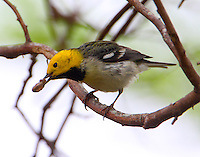 Adult male hermit warbler with worm.