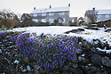 29/04/16 <br /> <br /> Snow on Aubrietia in a garden in Hartington after snow hits the Derbyshire Peak District.<br /> <br /> All Rights Reserved: F Stop Press Ltd. +44(0)1335 418365   +44 (0)7765 242650 www.fstoppress.com