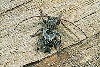 Dorniger Wimperbock, Rauher Wimperbock, Rauer Wimperbock, Pogonocherus hispidus, Lesser Thorn-tipped Longhorn Beetle