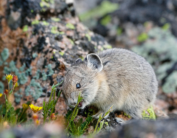 Young American pika (Ochotona princeps) eating a cinquefoil flower.  Beartooth Mountains, Wyoming/Montana border.  Summer.  This photo was taken in alpine setting at around 11,000 feet (3350 meters) elevation. Note teeth.