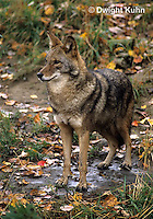 MA27-032z  Eastern Coyote - Canis latrans