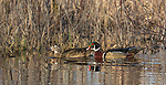 Pair of wood ducks swimming in a northern Wisconsin wetland.