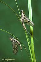 1E14-042x  Mayfly - subimago males - Siphlonisca aerodromia - endangered insect, Maine stream