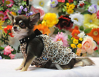 A miniature Papillon poses in his latest outfit  Osaka Pet Expo and fashion show, Osaka, Japan.<br /> 25-Sep-11<br /> <br /> Photo by Richard Jones