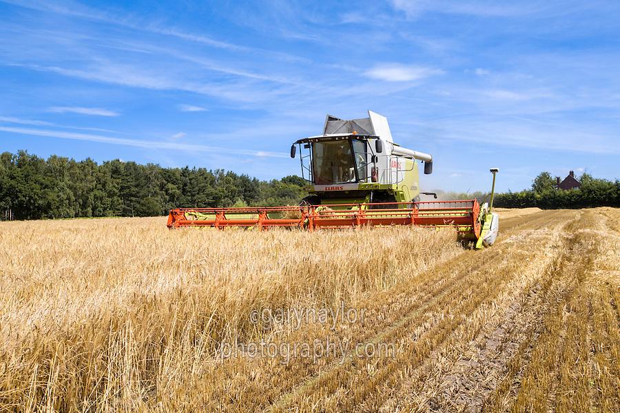 Harvesting Venture winter barley - Norfolk, July