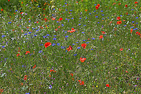 Blumenwiese, Wildblumen, artenreiche Blütenwiese, Wildblumen-Wiese, Wildkräuter-Wiese, Wildkräuter, bunte Vielfalt, mit Mohn, Kornblumen, flowerbed, flower-bed, flower bed, flowery meadow, Flower meadow, poppy, cornflower, bluebottle