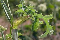 Wiesen-Bärenklau, Wiesenbärenklau, Gemeiner Bärenklau, Blatt, Blätter, Blattscheide, Stängel, Heracleum sphondylium, common hogweed