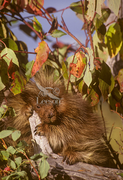 Young Porcupine (Erethizon dorsatum) resting.  Montana.  Fall.  Probably about 4 to 5 months old.