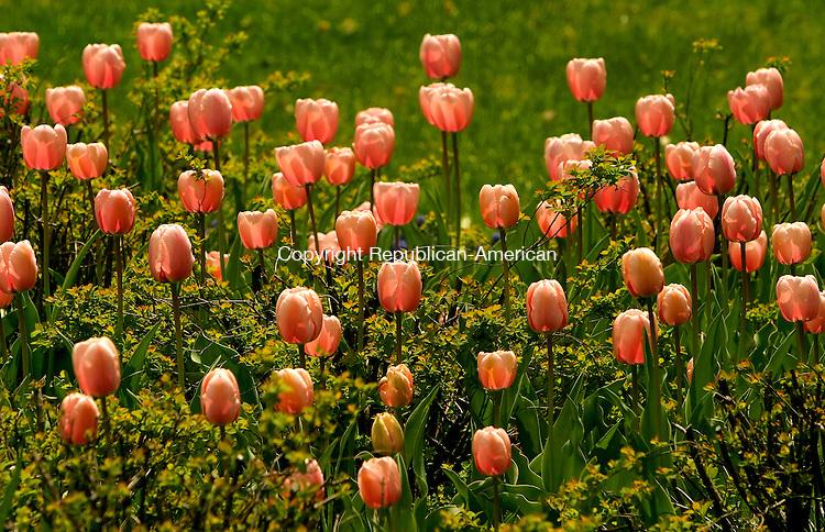 TORRINGTON, CT- 30 APRIL 2008 --043008JS18--Flowers in full bloom at the Coe Park Garden in Torrington.<br /> Jim Shannon / Republican-American