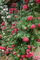 Rosa 'Wymondham Abbey' = 'Beadevil' (2007) climbing HT rose, red, against house wall