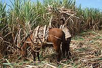 France/DOM/Martinique/Rivière-Pilote/Distillerie La Mauny: Chargement du mulet [Non destiné à un usage publicitaire - Not intended for an advertising use]