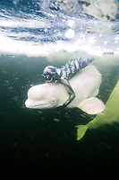 Free diver holding onto beluga whale, Delphinapterus leucas, in the White Sea, Russia. Captive at an ice diving station.