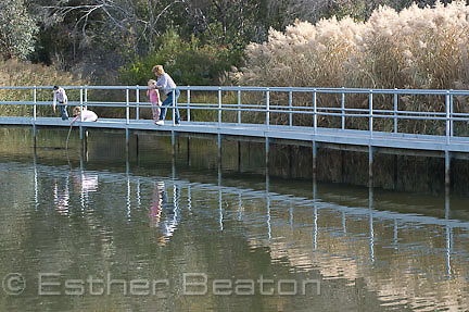 Visitors walk across bird pond on elevated walkway. Flowering reeds. Tidbinbilla Nature Reserve, ACT, Australian Capital Territory
