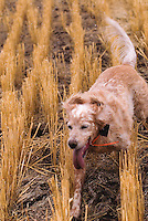 An English setter works a field for Hungarian partridge near Ringling, Montana.