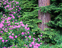 Blooming rhododendrons and Hemlock tree in Washington Park Arboretum, Seattle, Washington