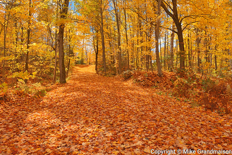 Country road covered in sugar maple leaves (Acer saccharum) in autumn, Fairbank Provincial Park, Ontario, Canada