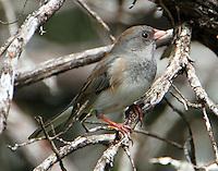 Female slate-colored junco