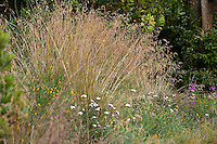 California fescue grass (Festuca californica) in native plant garden, lawn substitute meadow