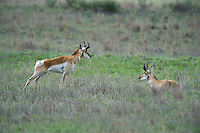 673080111 wild pronghorn antilocarpa americana graze and interact on a grassy hillside near canadian texas united states