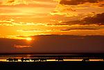 African buffalo herd at sunset, Lake Manyara National park, Tanzania