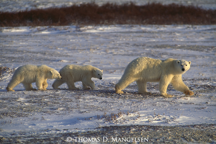 A mother polar bear leads her two cubs across the snowy landscape of Churchill, Manitoba, Canada.