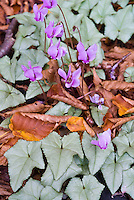 Cyclamen hederifolium in pink flower bloom 'Silver Leaves' in autumn fall