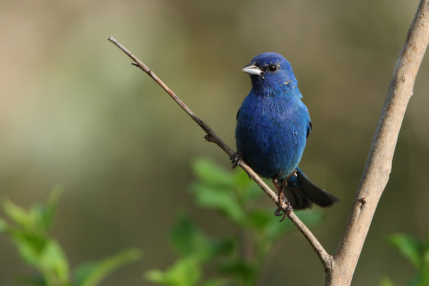 Indigo Buntings are small (roughly sparrow-sized), stocky birds with short tails and short, thick, conical bills. In flight, the birds appear plump with short, rounded tails.
