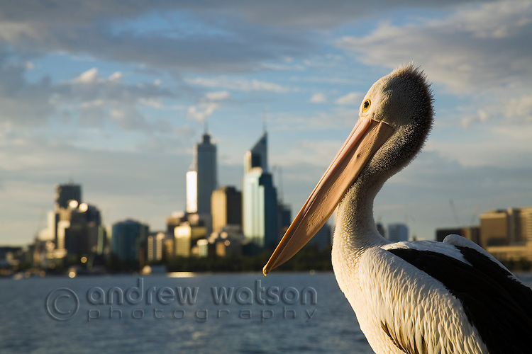 Pelican on the Swan River with city skyline.  Perth, Western Australia, AUSTRALIA.